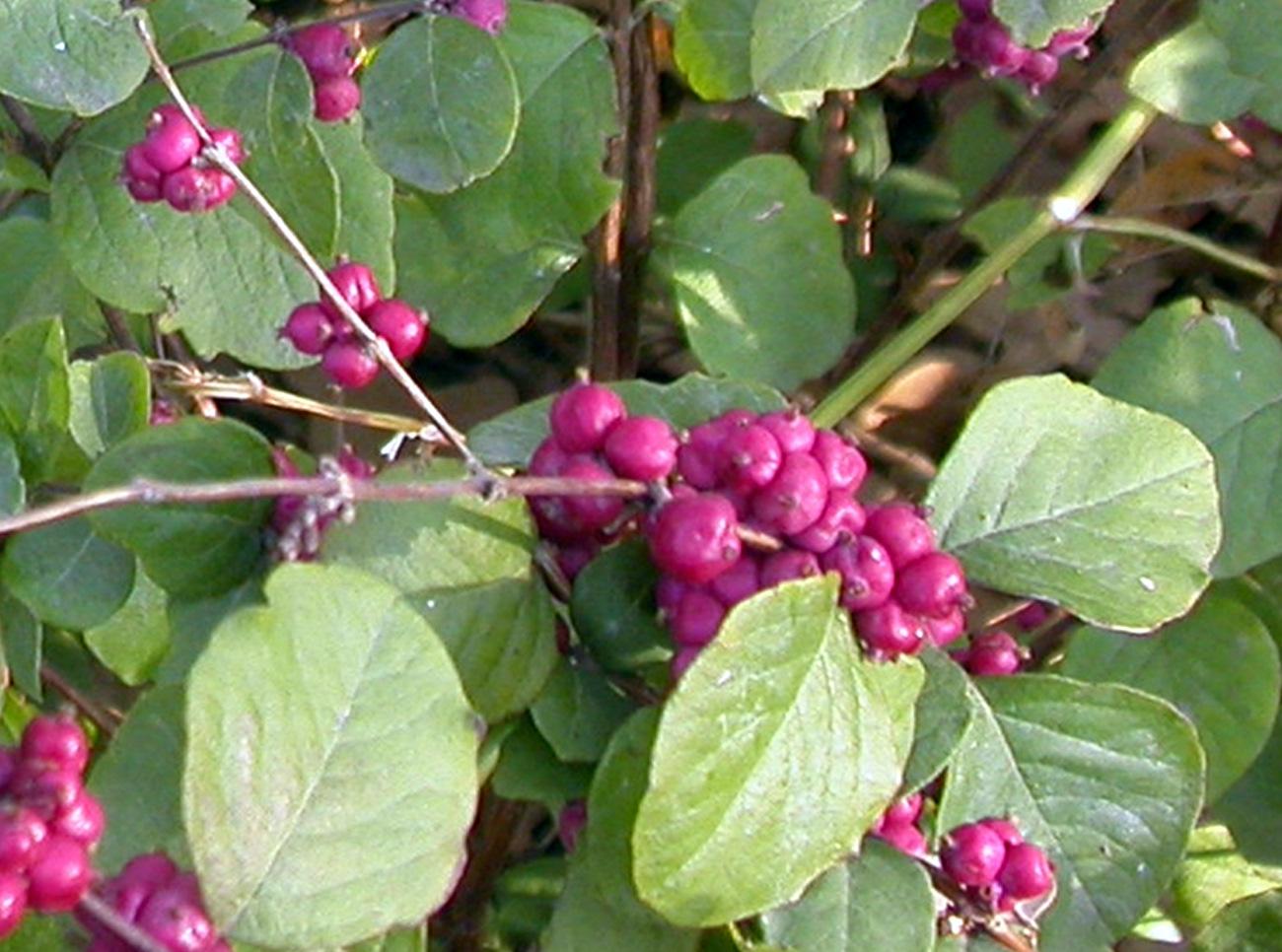 coralberry plants